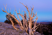 Ancient Bristlecone Pine Sunset 2