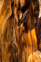 Ancient Bristlecone Pine Grain 2