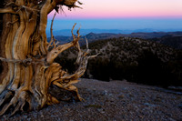 Ancient Bristlecone Sunset Horizontal