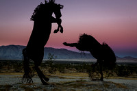 Stallion Fight in the Desert